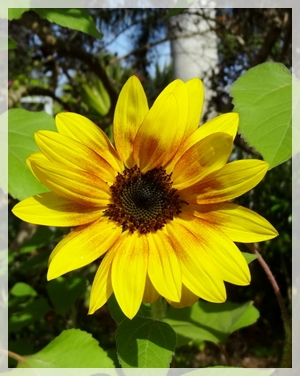 2-2-13 sunflower - Son shineWEB