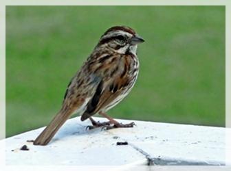sparrow - CLIL110-cropWEB