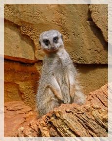 meerkat-LPZoo5web