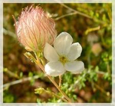 apache plume-Glenn Canyon-Lake Powell, AZ 033aweb