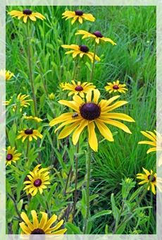 black-eyed susan - MHSP6200web