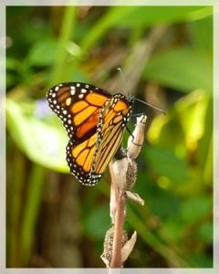 butterfly (monarch) - naplesBotGa38web