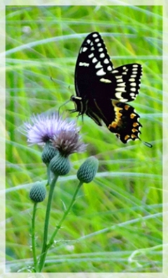 palamedes swallowtail-nuttall's thistle - CSS6722-cropweb