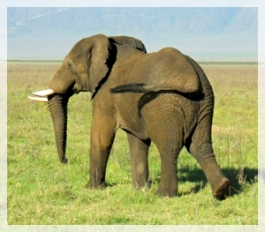 6-070 elephant NC-cropweb2
