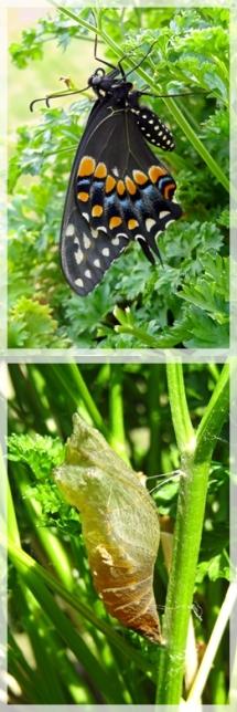 black swallowtail -chrysalis- web