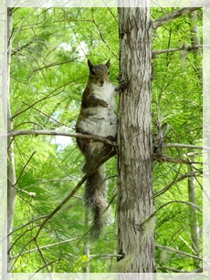 eastern gray squirrel - CSS6818web