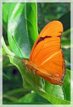julia butterfly- NBG2122aweb