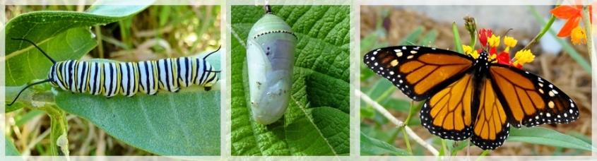 metamorphosis monarch butterfly- web