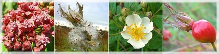 milkweed-pod-rose-rosehips-horzWEB2