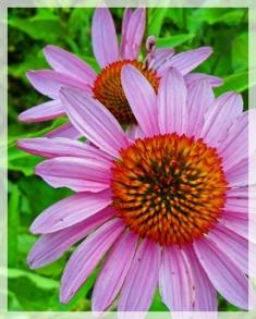 purple coneflower - MHSP087web