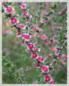 Russian thistle (tumbleweed)-Kodachrome Basin State Park,UT 009-cropweb