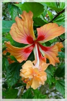 hibiscus - IW3121web