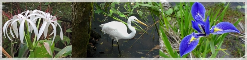 swamp lily-great egret-blue flag iris