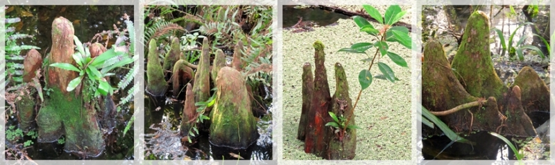 cypress knees - Corkscrew Swamp