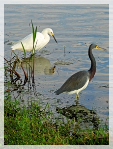 snowy egret and tri-colored heron