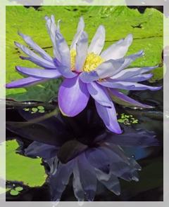 water lily - naples botanic garden