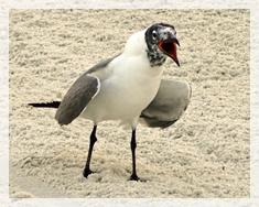 laughing gull - VB780web