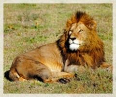 Lion - Serengetti