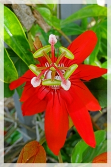 passion flower (scarlet) - NBG736web
