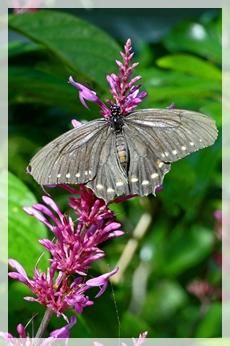 polydamas  swallowtail - NBG595web