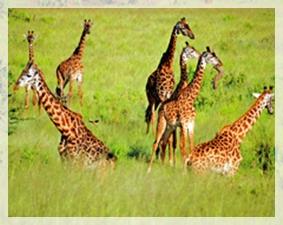giraffes - tanzania