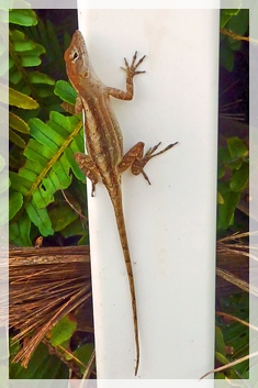 brown anole - florida