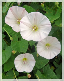 low bindweed - Illinois wildflowers