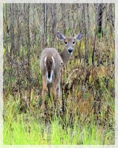 deer - corkscrew swamp