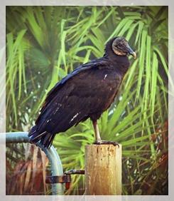vulture (black)