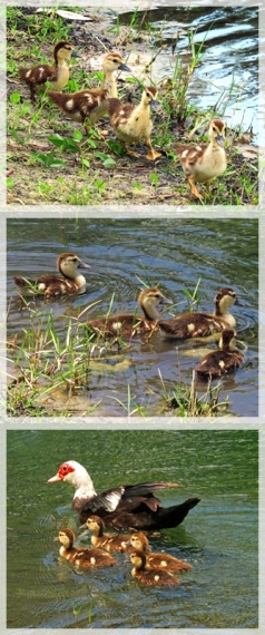 muscovy (Florida) ducks and ducklings