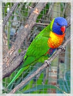 rainbow lorie - lorikeet
