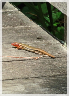 skink (southeastern five-lined)
