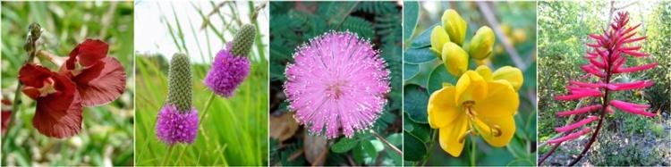 fabaceae plants