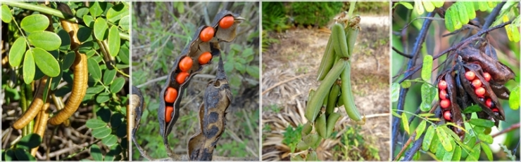 fabaceae pods