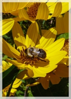 bee (on sunflower)