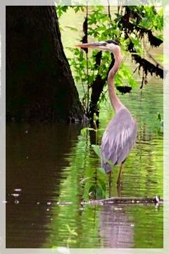 great blue heron -
