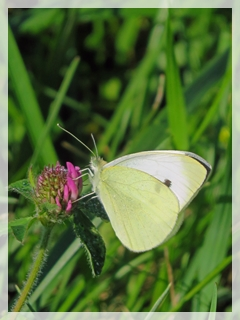 cabbage white butterfly on red clover