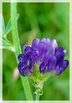 slender bush clover