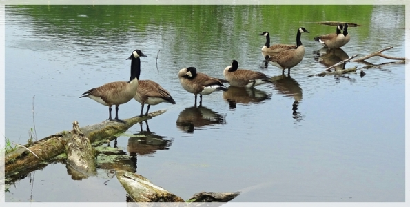 Canada geese-Moraine Hills State Park