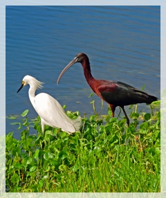 snowy egret - glossy ibis