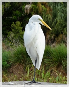 great-egret-