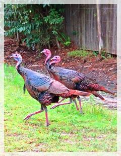 turkeys-