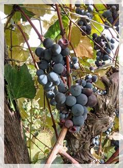 vineyard-