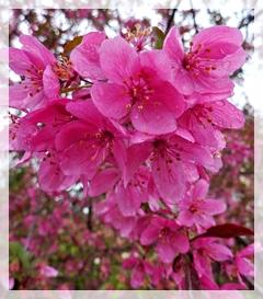 azalea-royal-rhododendron