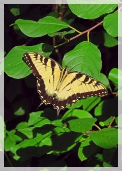 eastern-tiger-swallowtail-butterfly