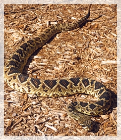 diamondback-rattle-snake-