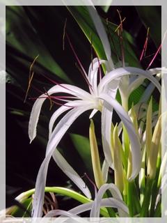 crinium lily
