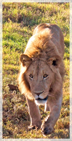 lion-tanzania
