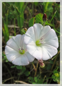 bindweed-field