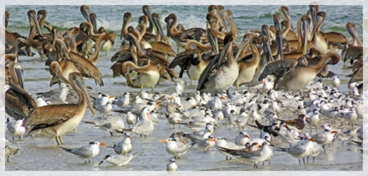 clam-pass-pelicans-terns